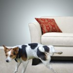 Dog Peeing on Couch_full