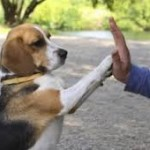 beagle high five