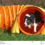 border collie leaping our of tunnel images (6)