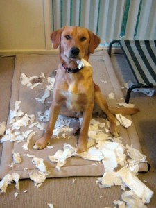 lab x tearin up paper towels Indy Being Bad