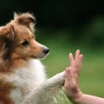 sheltie in high 5 imgres