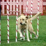 yellow lab in weaves images (1)